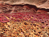 SEM of Section Through Human Skin Photographic Print by Steve Gschmeissner