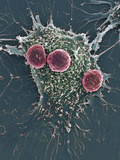 T Lymphocytes And Cancer Cell, SEM Premium Photographic Print by Steve Gschmeissner