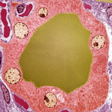 Thyroid Gland Follicle, TEM Premium Photographic Print by Steve Gschmeissner