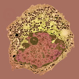 Endocrine Cell, TEM Photographic Print by Steve Gschmeissner