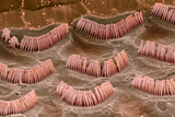 Inner Ear Hair Cells, SEM Print by Steve Gschmeissner