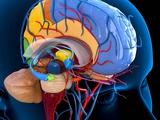 Human Brain Anatomy, Artwork Posters by Roger Harris