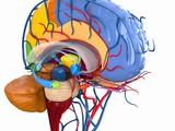 Human Brain Anatomy, Artwork Photographic Print by Roger Harris