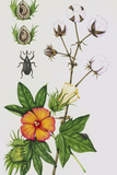Cotton Boll Weevil And Cotton Plant Prints by Lizzie Harper