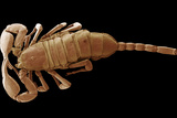 European Scorpion, SEM Photographic Print by Steve Gschmeissner