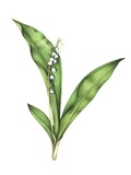 Lily of the Valley, Artwork Photographic Print by Lizzie Harper