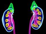 Human Kidneys, Artwork Premium Photographic Print by Roger Harris