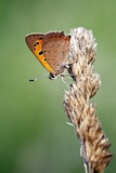 Small Copper Butterfly Photographic Print by Jerzy Gubernator