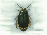 Great Diving Beetle, Artwork Photographic Print by Lizzie Harper