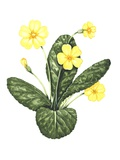 Common Primrose, Artwork Photographic Print by Lizzie Harper