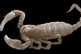 European Scorpion Photographic Print by Steve Gschmeissner