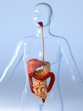Digestive System, Artwork Photographic Print by Roger Harris