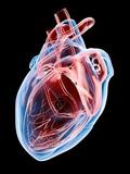 Human Heart, Artwork Photographic Print by Roger Harris