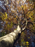 Tree In Autumn Prints by Tek Image