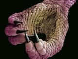 Foot of a Chameleon Affiche par Steve Gschmeissner