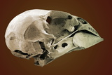 Striated Finch Skull, SEM Photographic Print by Steve Gschmeissner