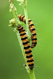 Cinnabar Moth Caterpillars Photographic Print by Jerzy Gubernator