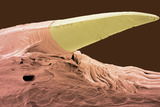 Python Tooth, SEM Photographic Print by Steve Gschmeissner