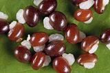 Celandine (Chelidonium Majus) Seeds Photographic Print by Jerzy Gubernator