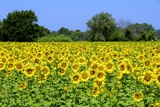 Sunflower Field Photographic Print by Chris Hellier