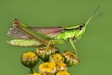 Meadow Grasshopper Photographic Print by Jerzy Gubernator