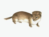 Common Weasel, Artwork Photographic Print by Lizzie Harper
