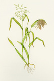 Proso Millet (Panicum Miliaceum), Artwork Photographic Print by Lizzie Harper