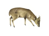 Common Muntjac Deer, Artwork Prints by Lizzie Harper