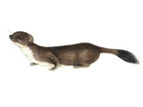 Stoat, Artwork Prints by Lizzie Harper
