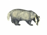 European Badger, Artwork Photographic Print by Lizzie Harper