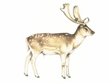 Fallow Deer, Artwork Photo by Lizzie Harper