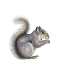 Eastern Grey Squirrel, Artwork Prints by Lizzie Harper