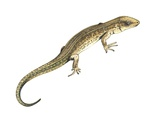 Common Lizard, Artwork Photographic Print by Lizzie Harper