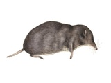 Common Shrew, Artwork Photographic Print by Lizzie Harper