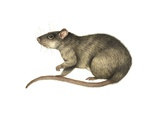 Brown Rat, Artwork Photographic Print by Lizzie Harper