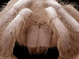 Tarantula Chelicerae Photographic Print by Steve Gschmeissner