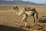 Dromedary Camel Fotografisk tryk af Chris Hellier