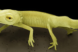 Young Newt, SEM Photographic Print by Steve Gschmeissner