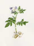 Potato (Solanum Tuberosum) Prints by Lizzie Harper
