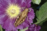 Rufous Grasshopper on a Hollyhock Photographic Print by Chris Hellier