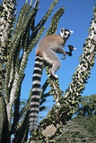 Ring-tailed Lemur Posters by Chris Hellier