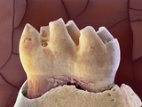Mouse Tooth, SEM Posters by Steve Gschmeissner