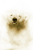 Polar Bear Photographic Print by Victor Habbick