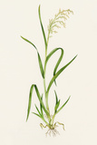 Wild Rice (Zizania Aquatica) Photographic Print by Lizzie Harper
