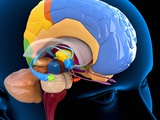 Human Brain Anatomy, Artwork Photographic Print by Roger Harris