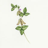 Soybean (Glycine Max) Photographic Print by Lizzie Harper