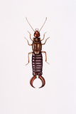 Earwig Photographic Print by Lizzie Harper