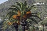 Date Palms (Phoenix Dactylifera) Photographic Print by Steve Horrell