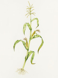 Maize (Zea Mays) Prints by Lizzie Harper