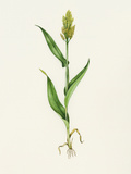 Sorghum (Sorghum Bicolor), Artwork Photographic Print by Lizzie Harper